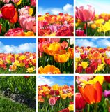 Colorful tulip flower set - Collection collage from nine Photos of nature. stock photos