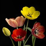 Colorful tulip flowers Royalty Free Stock Photos