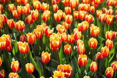 Colorful tulip flowers as a background in the garden. Colorful tulip flowers as a background Royalty Free Stock Photos