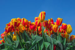 Colorful tulip flowers on blue sky background Stock Photo
