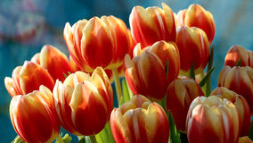 Colorful tulip flowers. A bunch of colorful tulip flowers in the sunlight Stock Photo