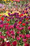 Colorful Tulip Flowers Royalty Free Stock Photography