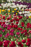 Colorful Tulip Flowers Royalty Free Stock Photo