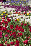 Colorful Tulip Flowers Stock Image