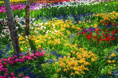 Tulip garden royalty free stock photography