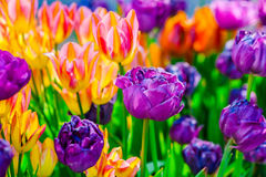 Free Colorful Tulip Flowers In Spring Season Royalty Free Stock Photos - 86456068
