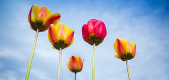 Colorful tulip flowers over blue cloudy sky Stock Photography