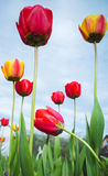 Colorful tulip flowers over blue cloudy sky Stock Photos