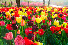 The colorful tulip flowers Stock Photography