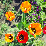 Colorful tulip flowers in spring garden Royalty Free Stock Photography