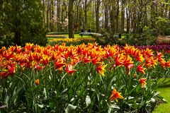 Colorful tulip flowers in spring park. Flower landscape Royalty Free Stock Photo