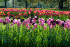 Colorful tulip flowers in two lines in park Royalty Free Stock Photo