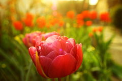 Colorful Tulip Royalty Free Stock Photography