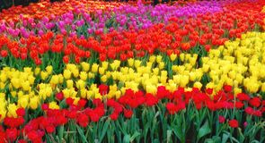 Colorful Tulip garden,beautiful tulip flower royalty free stock images