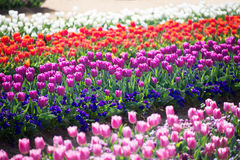Colorful Tulip Garden Royalty Free Stock Photo