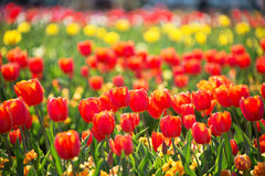 Colorful Tulip Garden Stock Image