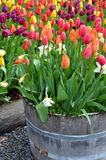 Colorful tulip planter Royalty Free Stock Images