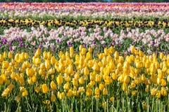 Colorful tulip in tulip farm Stock Images
