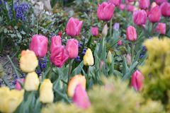 Colorful tulip, tulip time, spring background. Colorful tulips, tulip time, spring background, flowers background stock image