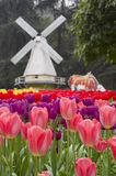 Colorful tulip and windmills Royalty Free Stock Photo