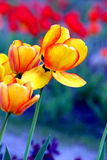 Colorful tulips. Yellow tulips on the blue Royalty Free Stock Images