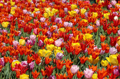 Colorful Tulips. In the field Stock Photo