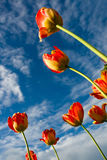 Colorful tulips. On a background of dark sky Royalty Free Stock Images