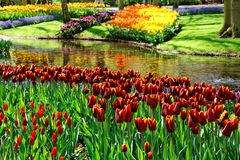 Colorful Tulips. Royalty Free Stock Image