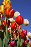 Colorful tulips Royalty Free Stock Image