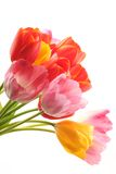 Colorful tulips. Bunch of beautiful spring flowers - colorful tulips against white background Stock Photography