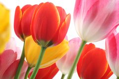 Colorful tulips. For use as background Stock Images