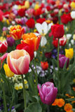 Colorful tulips. Close up of colorful springtime tulips