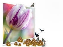 Colorful tulips Royalty Free Stock Photography