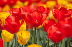 Colorful Tulips. Beautiful red and yellow tulips in a field Royalty Free Stock Images