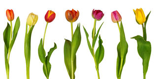Colorful  tulips. Isolated on white background Stock Photography