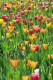 Colorful Tulips. Many tulips in the field royalty free stock photography