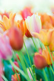 Colorful tulips. With a blurred background Royalty Free Stock Photography