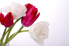 Colorful tulips. On white background Stock Image