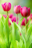 Colorful tulips. For adv or others purpose use Stock Image