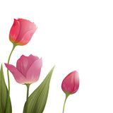 Colorful Tulips. Illustration of isolated Colorful Tulips Royalty Free Stock Images
