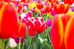 Colorful tulips. In the garden Royalty Free Stock Image