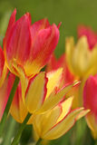 Colorful tulips (3) Royalty Free Stock Photos
