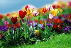 Colorful tulips. Bed of colorful tulips on the grass Stock Images