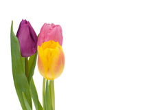 Colorful tulips Royalty Free Stock Photo