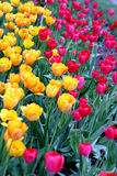 Colorful tulips. Field with many colorful tulips Royalty Free Stock Photos