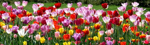 Colorful tulips. Multicolor tulips - panoramic  flowers view Stock Image