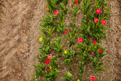 Colorful tulips from above Royalty Free Stock Photography