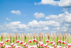 Colorful tulips against blue sky background Royalty Free Stock Photography