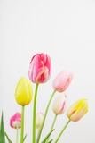 Colorful tulips against white background Stock Image