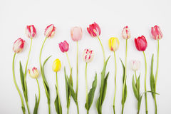 Colorful tulips against white backround Stock Photos